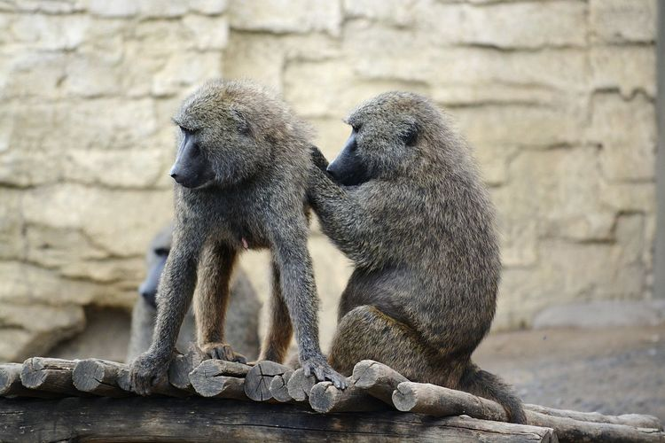 Close-Up Of Two Monkeys Grooming