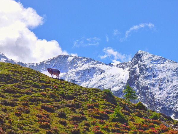 ✨Welcome back spring, we have been waiting for you !✨ Mountain Beauty In Nature Sky Scenics Blue Nature Idyllic Landscape Outdoors Green Color No People Flower Cow EyeEm Best Shots EyeEm Nature Lover EyeEm Gallery EyeEmBestPics EyeEm Great Atmosphere Snow Snowcapped Mountain Mountains Südtirol Alto Adige Beautiful Nature