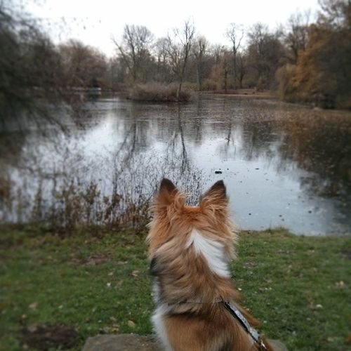 Winter walk Sheltie Sheltiemix Nature Lake winter walk mixedbreed puppy ice dog water