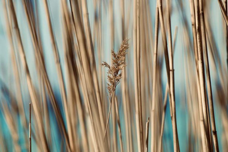 Close-up of reeds