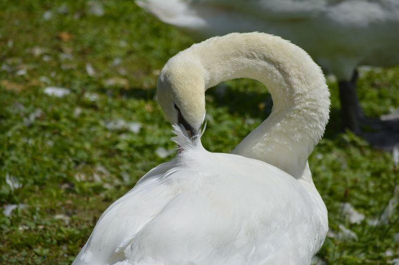 Swan Cygne