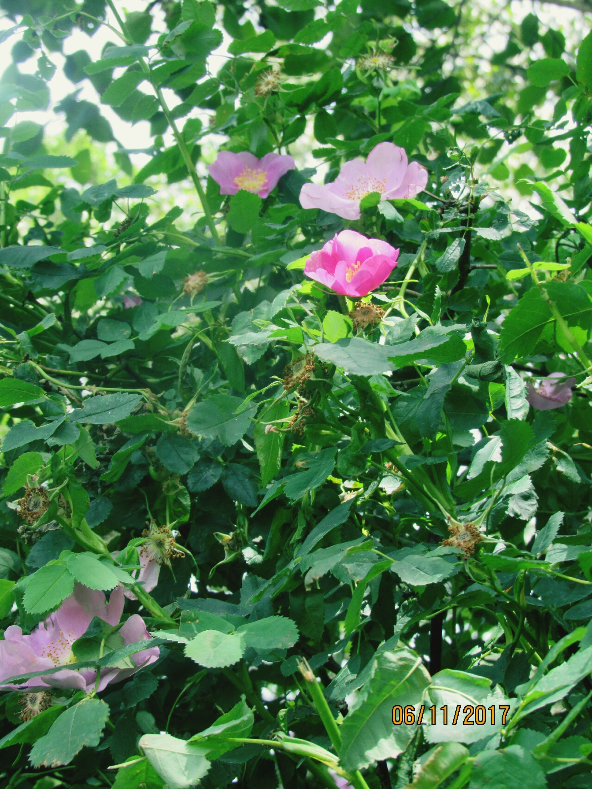 growth, leaf, flower, plant, nature, green color, beauty in nature, petal, pink color, freshness, blooming, no people, fragility, outdoors, day, close-up, flower head, periwinkle