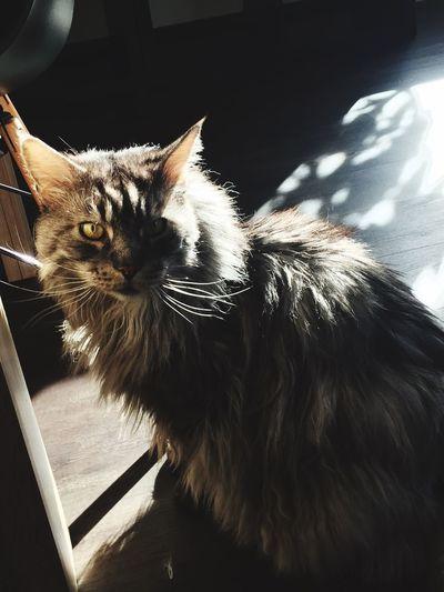 My cat Domestic Cat Domestic Animals Pets Animal Themes Mammal One Animal Feline No People Indoors  Close-up Day Likeforlike #likemyphoto #qlikemyphotos #like4like #likemypic #likeback #ilikeback #10likes #50likes #100likes #20likes #likere Traveling Home For The Holidays Scenics Eye4photography  EyeEm Best Shots City