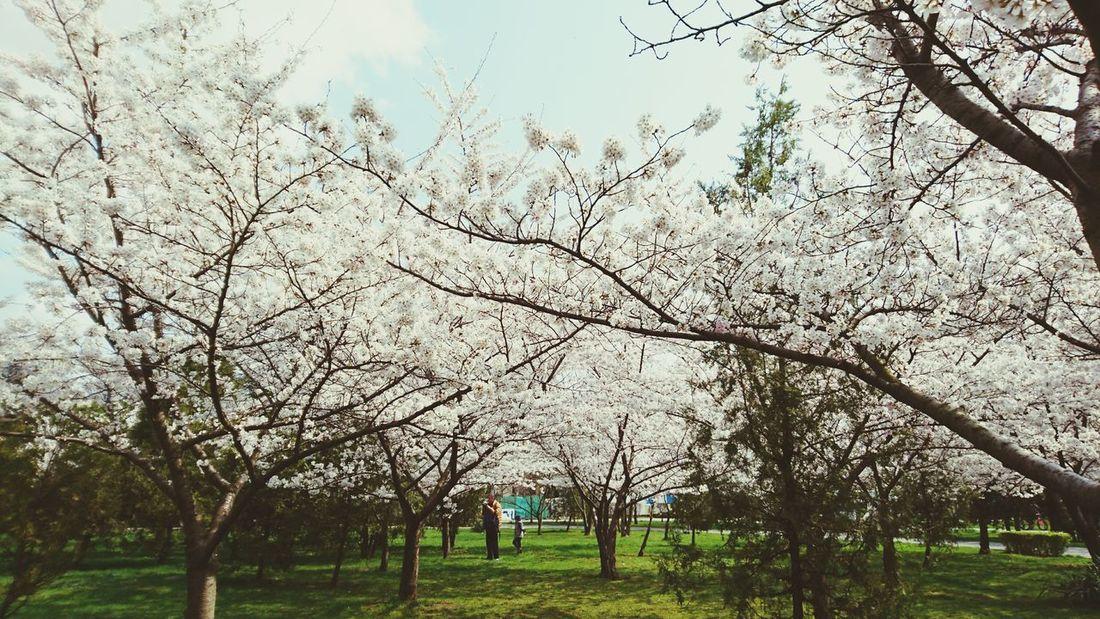 Spring Landscape Landscape Springtime Spring Blooming Blooming Tree Flower Tree Blooming Trees Urban Spring Fever White Flowers White Tree Landscapes With WhiteWall