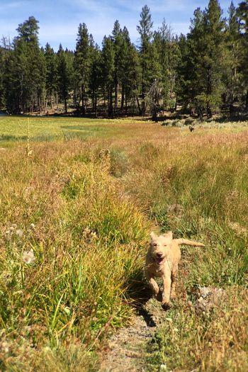 LABRADOODLE PUPPY ENERGY Puppy Labradoodle Field California