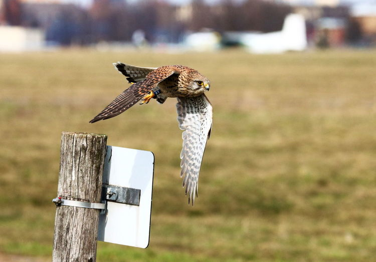 Bird flying over a wooden post
