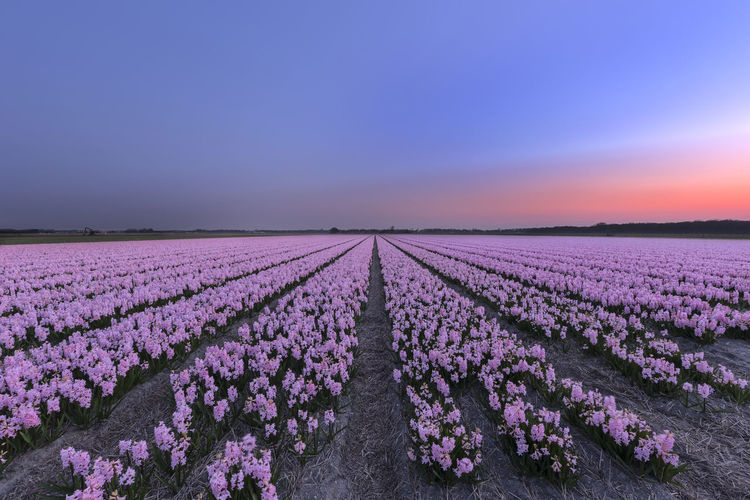 Agriculture Amsterdam Beauty In Nature Farming Field Flower Fragility Freshness Growth Hyacinths In A Row Landscape Nature Netherlands No People Outdoors Pink Color Purple Rural Scene Sky Spring Springtime Sunrise Sunset Tranquility