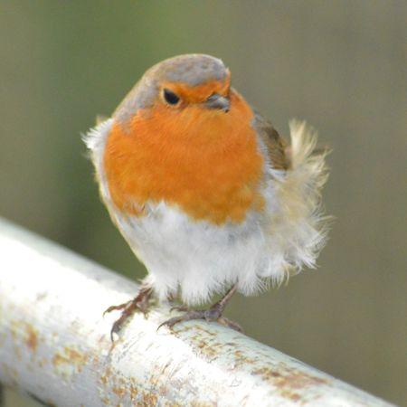EyeEm Selects Robin Robin Redbreast British Birds Bird Photography Winter Bird One Animal Animal Wildlife Close-up No People Day