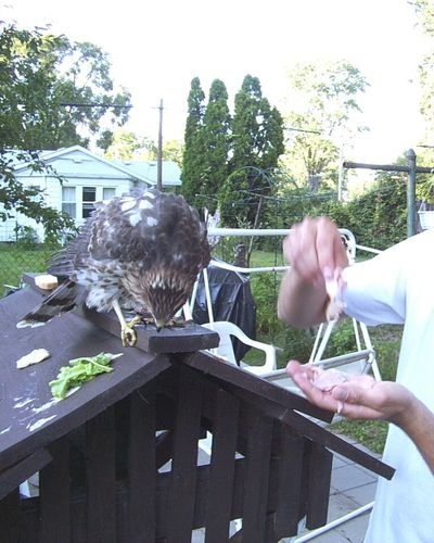 Feeding Wildlife Cooper's Hawk Hawk Bird Feeding Animals