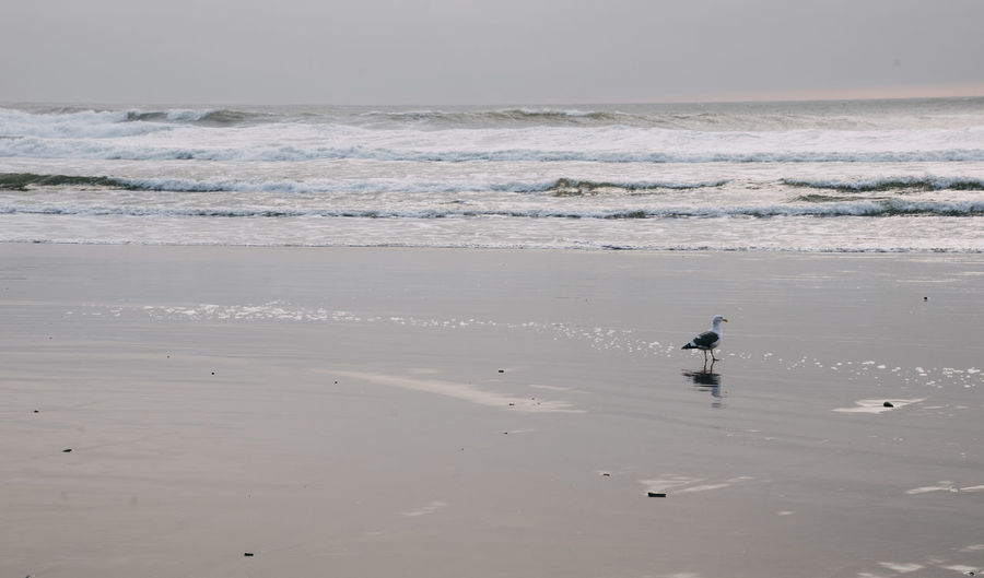 Seagull Seagulls And Sea Sea Oregon Oregon Coast Water Pacific Northwest  Beach Land Beauty In Nature Animal Animal Themes Vertebrate Horizon One Animal Scenics - Nature Bird Animals In The Wild Horizon Over Water Animal Wildlife Motion Sand Nature Wave Outdoors
