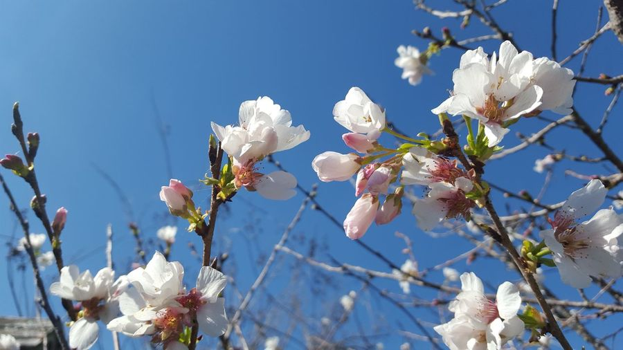 Low angle view of crab apple blossoms against sky
