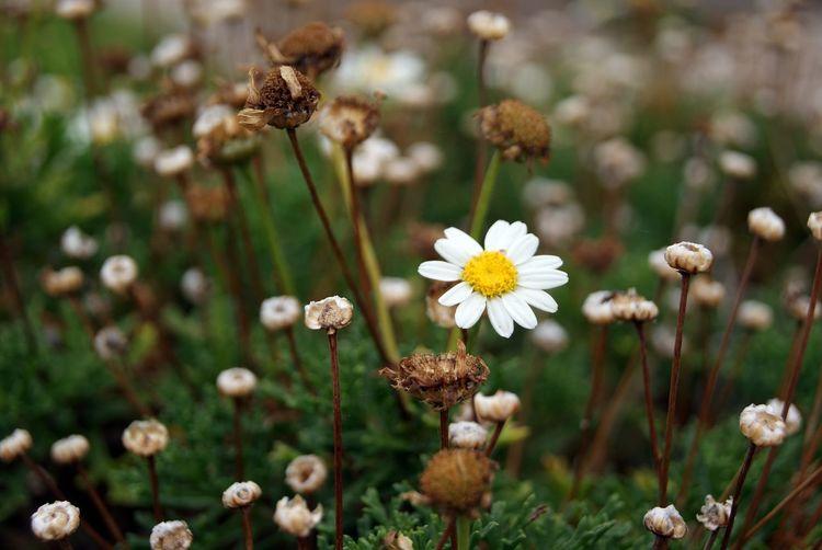 Close-up of daisy blooming at park