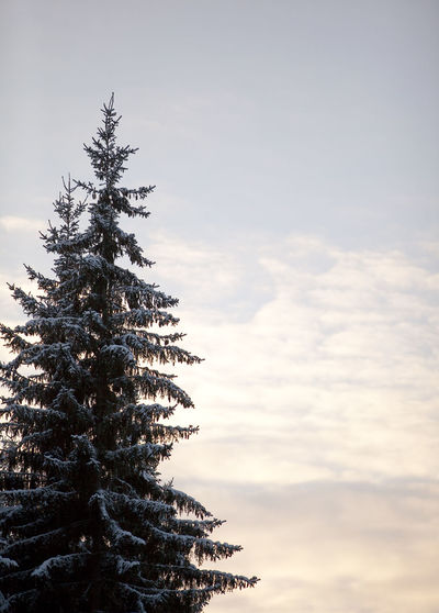 Tree Plant Sky Cloud - Sky No People Nature Growth Tranquility Beauty In Nature Cold Temperature Day Scenics - Nature Pine Tree Tranquil Scene Winter Snow Coniferous Tree Christmas Holiday Outdoors Fir Tree Holiday Moments