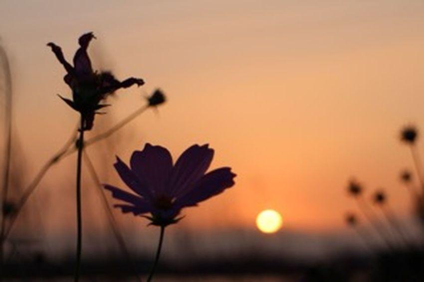 1週間お疲れ様でした(*'͜' )⋆* Relaxing Relaxing コスモス 秋桜 Flower 夕焼け 夕陽 Silhouette