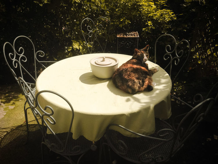 Animal Animal Themes Cat Day Feline Front Or Back Yard One Animal Outside Pets Table
