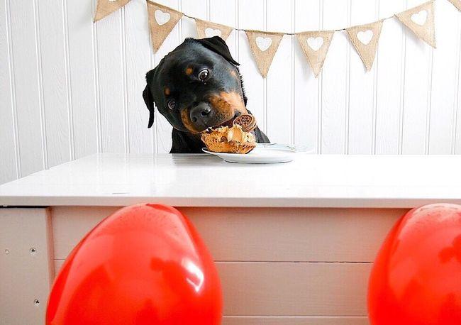 Little lady's birthday 🎂 Bestfriend Girlandherdog Rottweilerofinstagram Rottweilersofeyem Rottweilergirls Rottweilerlife Rottweilerinstagram Rottweilerlove Dogs Of EyeEm Dogoftheday Cornwall Uk Rottweiler Dogs Rottweileroftheday Cakesmash Birthday Birthday Cake Birthdaygirl Dogbarkday