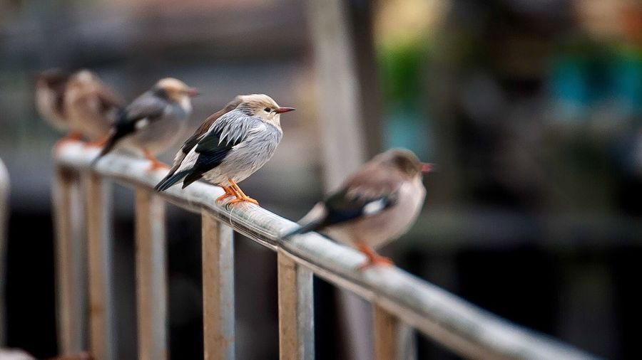 Cute Birds Sitting In A Row Watching Fishermen . Frandi Streetphotography Fishing Village Dof Crowd