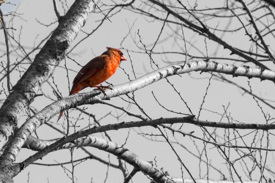 Nature Animals Bird Birds Selective Color Cardinal Northern Cardinal