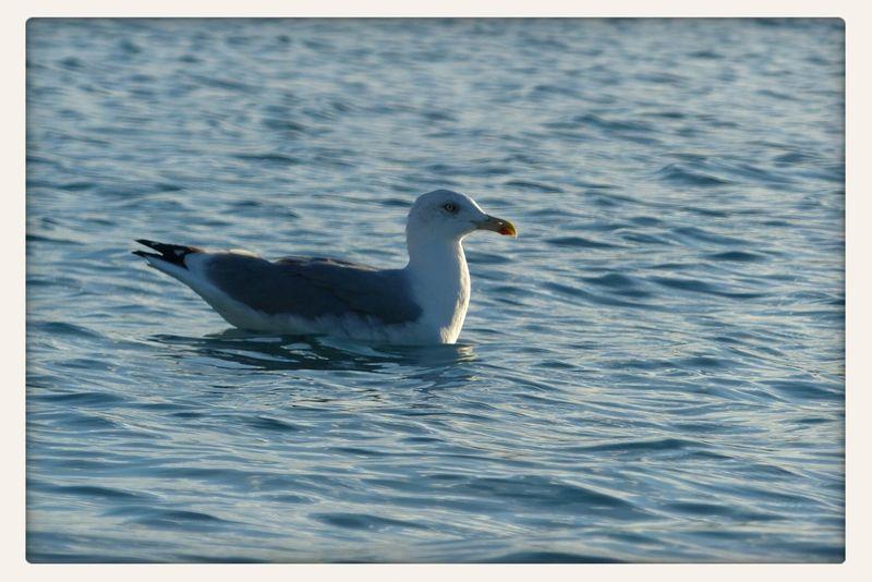 Spanish seagull... ;) Birds AllCreaturesGreatAndSmall EyeEm Nature Lover Nature
