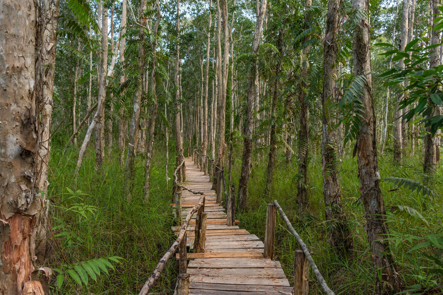 Mangroves walkway in Ream National Park, Cambodia. Ahead Bamboo - Plant Beauty In Nature Boardwalk Day Direction Empty Forest Green Color Growth Lush - Description Mangrove Nature No People Outdoors Path Pathway The Way Forward Tranquility Tree Wood - Material