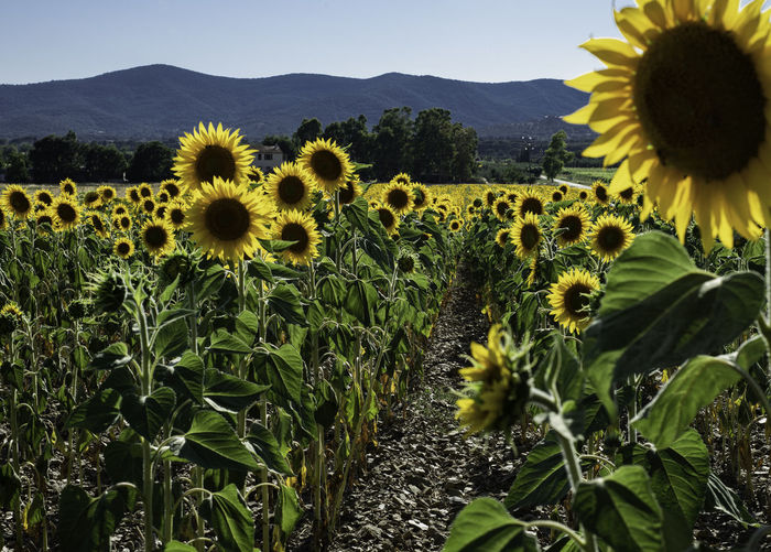 Scenicsunflower field in tuscany, italy, at sunset