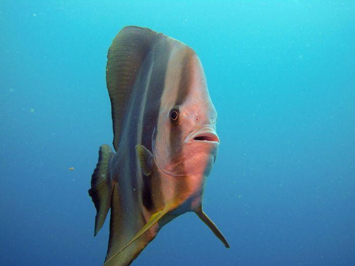 Batfish EyeEm Selects Animals In The Wild Underwater Animal Themes Fish Animal Wildlife Animal Water Sea One Animal UnderSea Vertebrate Sea Life Swimming Marine No People Nature Blue Outdoors Close-up Saltwater Fish