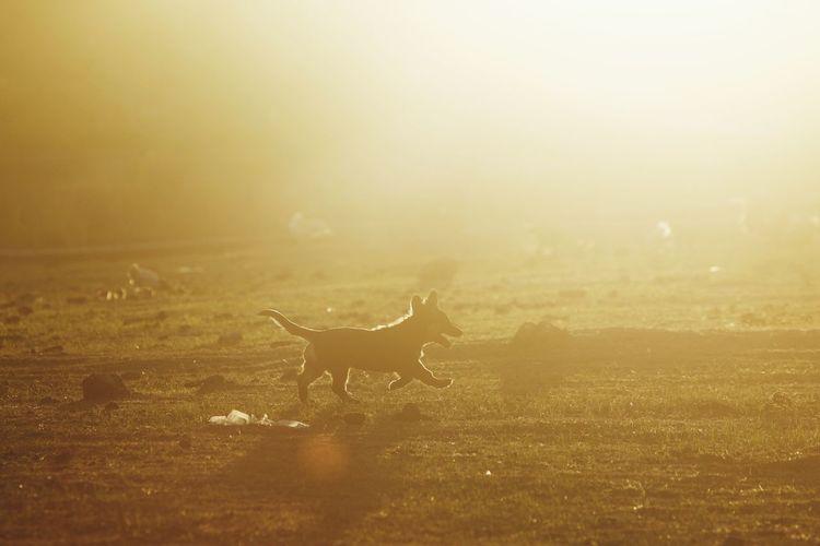 Dog Dog Puppy Puppies Pet Environment Wildlife Wildlife & Nature Nature Twig Trees And Nature EyeEm Selects Fog Dawn Sunset Rural Scene Silhouette Safari Animals Cheetah Sunlight Morning Animal Themes Animal Trunk Siberian Husky Dog Lead Pet Collar Dachshund Canine Rottweiler
