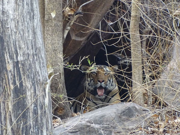 Tiger in his den after eating bison in Kanha national park , India One Animal Animals In The Wild No People Mammal Close-up Animal Themes MPOTM - WeekendChallengeNo1Outdoors Bigcats Tiger The Photojournalist - 2017 EyeEm Awards The Street Photographer - 2017 EyeEm Awards The Portraitist - 2017 EyeEm Awards The Great Outdoors - 2017 EyeEm Awards Prañavography Malephotographerofthemonth Incredible India India Animal Wildlife Neighborhood Map EyeEmNewHere Bigcatphotography Tiger-love Tigers Kanha National Park Neon Life The Week On EyeEm Mix Yourself A Good Time Pet Portraits