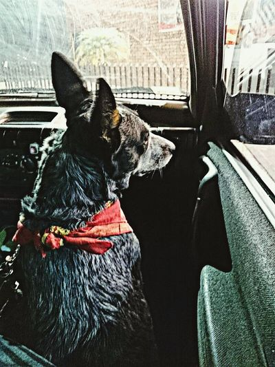 Haka waiting patiently for her dad to come back from the store... Doglover💙 Dogstagram Dogdays Blueheeler Australiancattledog Cattledog Blueheeler/Australian Shepherd