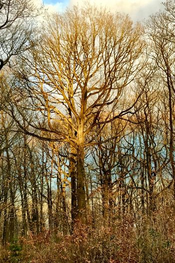 Arbre doré Tree Plant Sky No People Nature Growth Low Angle View Tranquility Scenics - Nature Forest Tree Trunk