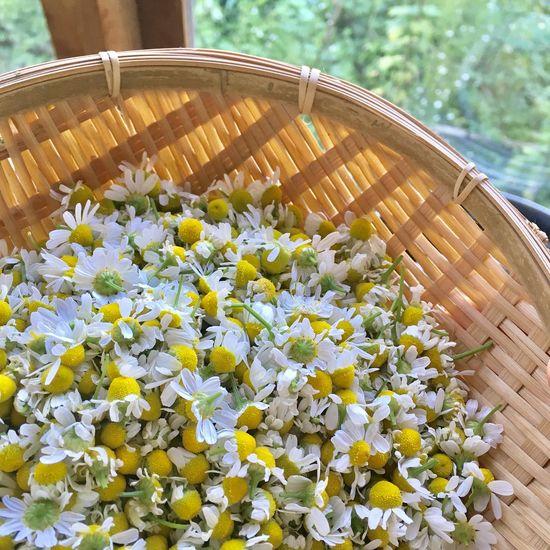 Beauty Flower Freshness Basket Nature Beauty In Nature Camomile White Flower White Flowers Happy Time Camomile Tea