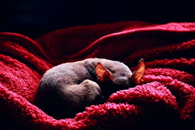 Chihuahua sleeping on red towel