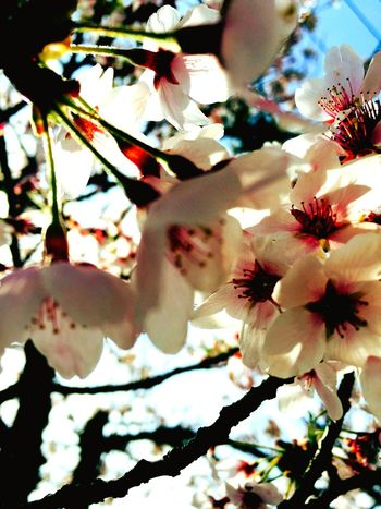 Cherry Blossoms Blunch Sky Lightpink Onfoot Taking Photos Relaxing