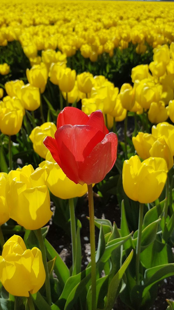 flower, petal, beauty in nature, fragility, yellow, freshness, nature, growth, flower head, blooming, tulip, plant, vibrant color, springtime, field, no people, day, green color, close-up, outdoors, crocus
