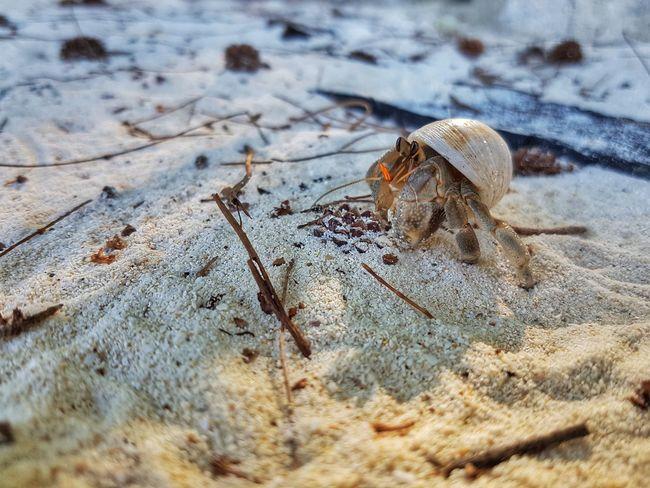 Silvalines Hermitcrab Hermit Crabs Hermit Crab Beach Life Beachlife