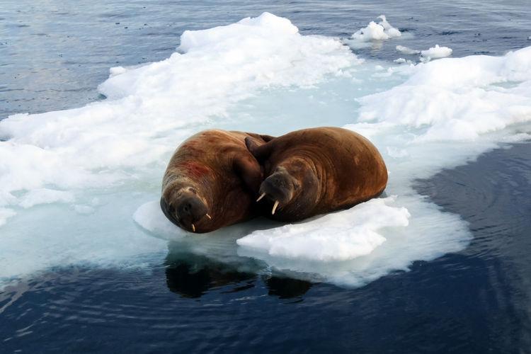 walrus Walrus Mammal Animal Themes Animal One Animal Water Sea Vertebrate Pets Canine Dog No People Domestic Animals Domestic Cold Temperature Winter Nature Day Animal Wildlife Ice Animal Head