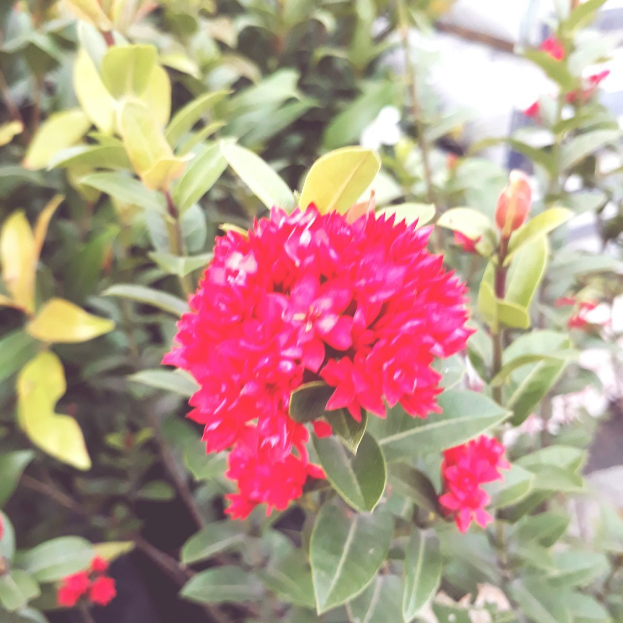 flower, growth, petal, beauty in nature, nature, fragility, plant, flower head, freshness, red, blooming, day, no people, outdoors, leaf, pink color, close-up, zinnia