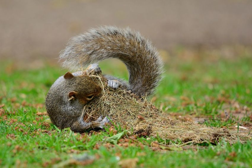 Animal Themes Animal Wildlife Animals In The Wild Animals In The Wild Beauty In Nature Check This Out Close-up Cute Day Eye4photography  EyeEm Best Shots EyeEm Gallery EyeEm Nature Lover Grass Grey Squirrel Nature Nature_collection No People One Animal Outdoors Playing Squirrel Squirrel Taking Photos Wildlife
