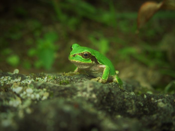 No People Outdoors Frog Green Color Close-up Nature Animal One Animal Animal Eye