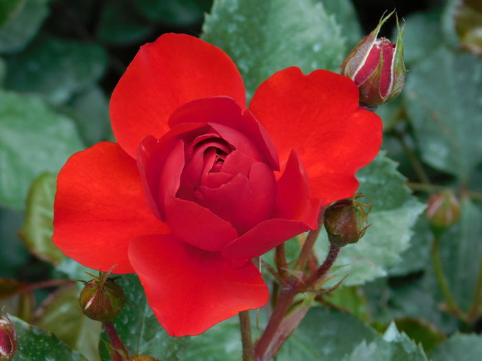 Red Red Rose Red Rose Bud Mother Natures Beauty... Flowers,Plants & Garden Vivid Colors