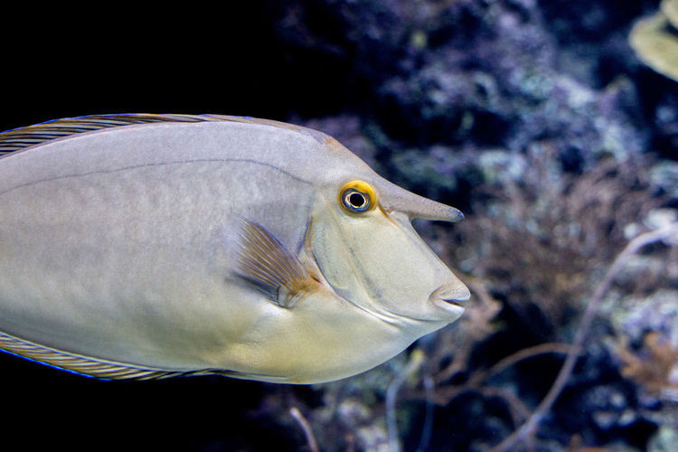 Naso Tang Naso Unicornis Animal Eye Aquarium Marine Profile View Sea Life Swimming Tank Unicorn Tang