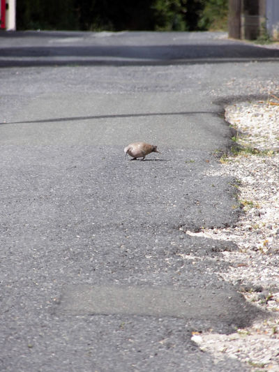 Really nice colored turtledove more cream that usually IN France. one bird and the road perspective Streptoria Ocre From Faraway Beige Turtledove On The Road Macadam Macadam - Material One Bird Scenic - Bird In France Vertical Road