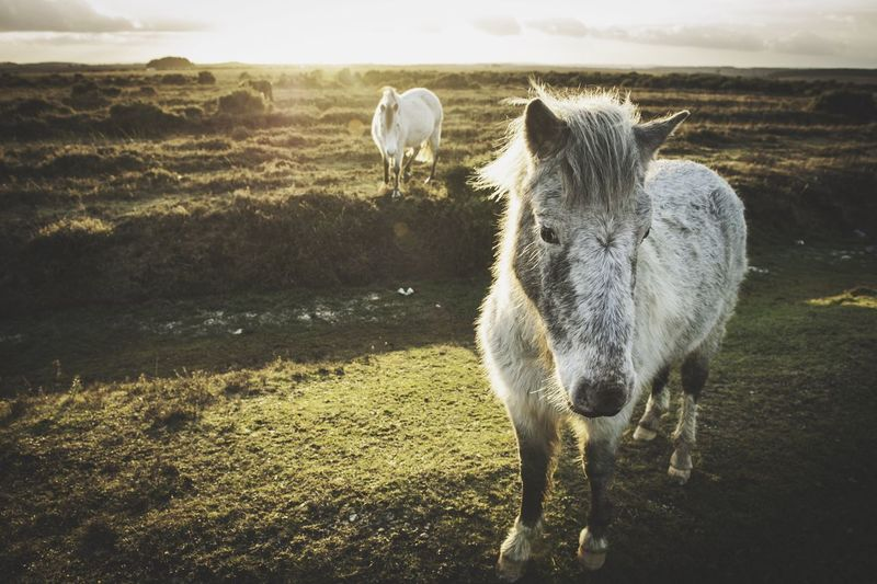 New forest Ponies. Pony Taking Photos New Forest Pony New Forest England Horse Horses Countryside Countryside Life Landscape_Collection Landscape Landscape_photography Landscapes Nature Nature_collection Nature Photography Wildlife Animals Animal Themes Animals In The Wild Animal Photography The Great Outdoors With Adobe Sunset Sunset_collection