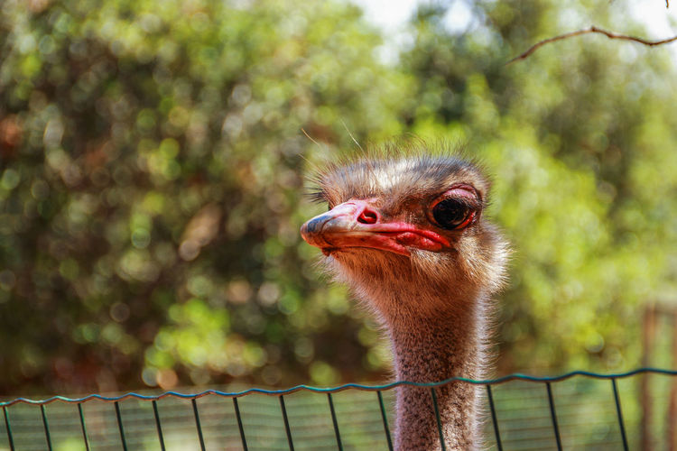 Close-up of ostrich head by fence