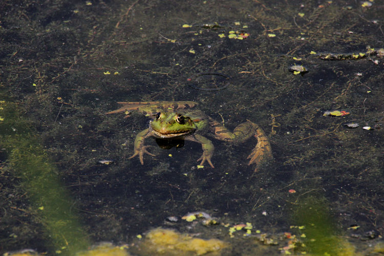 Amphibian Animal Animal Themes Animal Wildlife Animals In The Wild Frog Nature Water