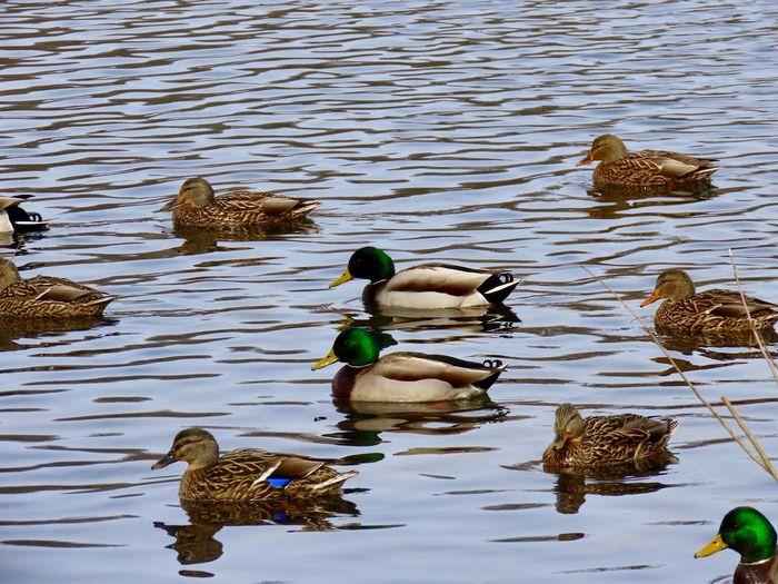 Birds swimming ducks mallards male and female large group of birds birds of EyeEm animal themes Water Animal Wildlife Animal Themes No People