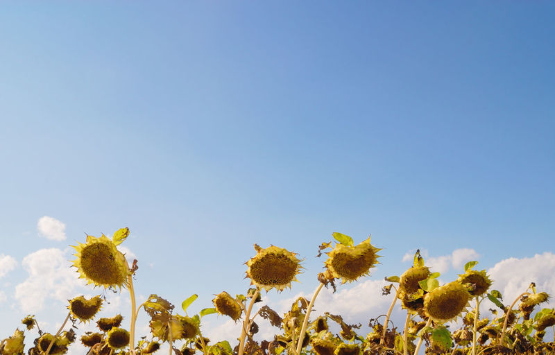 Low angle view of sunflowers against clear sky