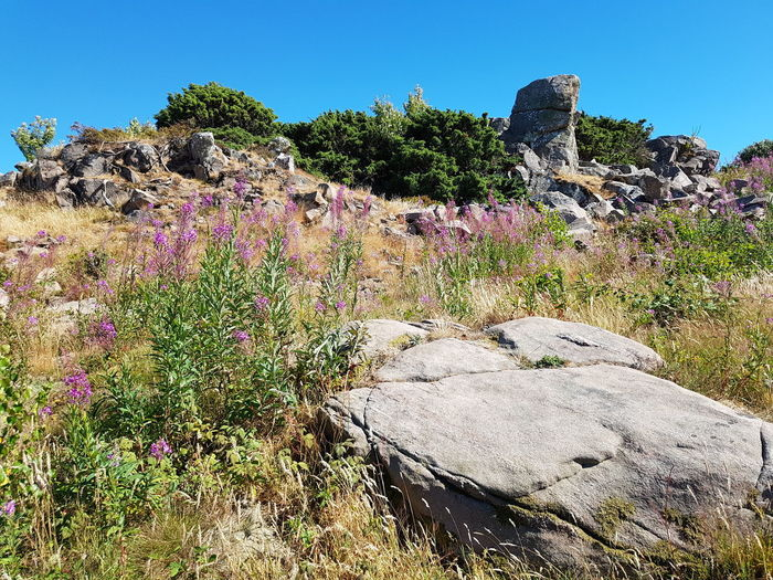 Landscape Landscape_Collection Landscape_photography Rock - Object Rock Formation Sky Blue Summer Violet Grass Hovs Hallar Beauty In Nature Bildfolge Photography Sweden Plant Green Wild Flowers Flower Head Flower Blossom Clear Sky Tree Sky Blooming Growing Fragility Plant Life Countryside Pink