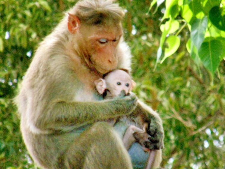 Unconditional love!!! Sweet moment a mothers hug and love.....😄😂😂😂 Always respect mother's love... EyeEmBestPics Photo Of The Day EyeEm Best Shots My First Pic On EyeEm Close-up Taking Time To See The Little Things Taking Photos. Animals Love Monkey Face Monkey Family Wildlife & Nature Wildlife Photography Wildlife_perfection Love ♥ Family Time Femalephotographerofthemonth Wild & Pure Pure Heart Lovely Hug Hugging Unconditional Love