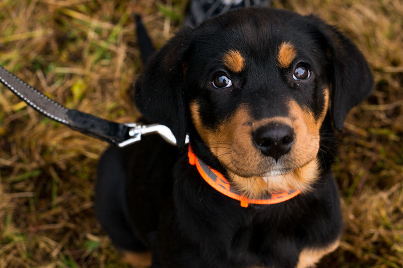 Dog One Animal Pets Looking At Camera Domestic Animals Mammal Black Color Animal Themes Portrait Close-up Cute Pets Cute Rottweiler Puppy❤ Puppy Nature Sitting